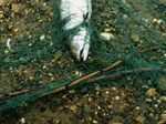 Salmon Netting
